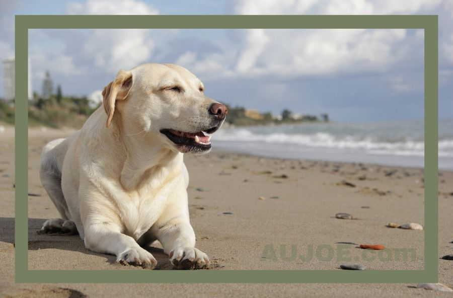 Weight Loss Dog Food for Labrador